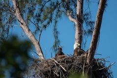 Ein Weißkopfseeadler und ein junger Adler sitzen in ihrem Nest Lizenzfreies Stockfoto