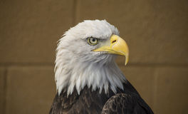Ein Weißkopfseeadlerseitenporträt Stockfotos