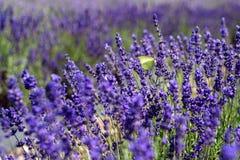 Ein wei?er Schmetterling auf Lavendel stockbilder