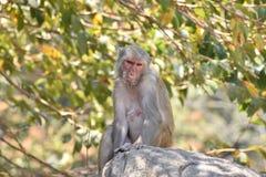 Ein weiblicher Affe, der unter einem Baum auf großem Stein mit der kühlen Stimmung schaut ehrfürchtig sitzt Stockfotografie
