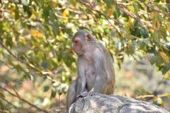 Ein weiblicher Affe, der unter einem Baum auf großem Stein mit der kühlen Stimmung schaut ehrfürchtig sitzt Stockbild