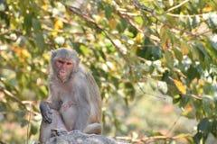 Ein weiblicher Affe, der unter einem Baum auf großem Stein mit der kühlen Stimmung schaut ehrfürchtig sitzt Lizenzfreie Stockfotos
