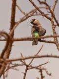 Ein weiblicher afrikanischer Orange-aufgeblähter Papagei Lizenzfreie Stockfotografie