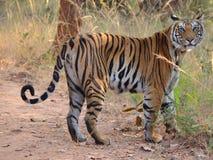 Ein weiblicher Bengal-Tiger, der die Kamera betrachtet stockbild