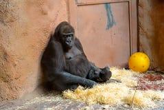 Ein weiblicher Berggorilla kümmert sich um ihrem Baby Stockbilder