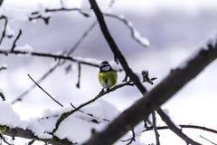 Ein weiblicher Dompfaff Pyrrhula Pyrrhula sitzt auf die Oberseite eines Baums stockfotos