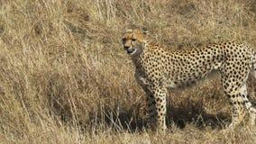 Ein weiblicher Gepard, der links auf Masai Mara Game Reserve geht und gegenüberstellt stock video footage