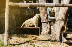 Ein weiblicher Löwe auf tabe im Sonnenlicht und Höhle und Baumhintergrund Stockbild