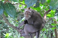 Ein weiblicher langschwänziger Makaken oder Krabbe, die Makaken, Macaca fascicularis, ihr Baby halten isst Lizenzfreie Stockbilder
