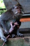 Ein weiblicher langschwänziger Makaken oder Krabbe, die Makaken, Macaca fascicularis, ihr Baby halten isst Lizenzfreies Stockbild