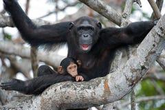 Ein weiblicher Schimpanse mit einem Baby auf Mangrovenbäumen Die Republik Kongo Conkouati-Doulireserve Stockfotos