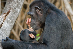 Ein weiblicher Schimpanse mit einem Baby auf Mangrovenbäumen Die Republik Kongo Conkouati-Doulireserve Stockbild