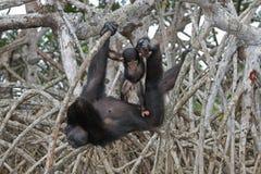 Ein weiblicher Schimpanse mit einem Baby auf Mangrovenbäumen Die Republik Kongo Conkouati-Doulireserve Lizenzfreies Stockfoto
