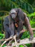 Ein weiblicher Schimpanse mit einem Baby auf Mangrovenbäumen Die Republik Kongo Conkouati-Doulireserve Lizenzfreie Stockfotografie
