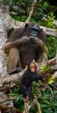 Ein weiblicher Schimpanse mit einem Baby auf Mangrovenbäumen Die Republik Kongo Conkouati-Doulireserve Stockfoto