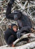 Ein weiblicher Schimpanse mit einem Baby auf Mangrovenbäumen Die Republik Kongo Conkouati-Doulireserve Lizenzfreie Stockbilder