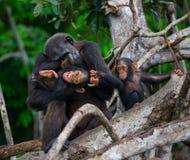 Ein weiblicher Schimpanse mit einem Baby auf Mangrovenbäumen Die Republik Kongo Conkouati-Doulireserve Lizenzfreie Stockfotos