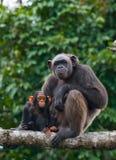 Ein weiblicher Schimpanse mit einem Baby auf Mangrovenbäumen Die Republik Kongo Conkouati-Doulireserve Lizenzfreies Stockbild