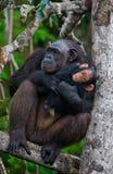 Ein weiblicher Schimpanse mit einem Baby auf Mangrovenbäumen Die Republik Kongo Conkouati-Doulireserve Stockbilder