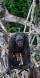 Ein weiblicher Schimpanse mit einem Baby auf Mangrovenbäumen Die Republik Kongo Conkouati-Doulireserve Stockfotografie