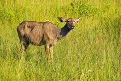 Ein weibliches kudu, große Spezies der Antilope Stockfotografie