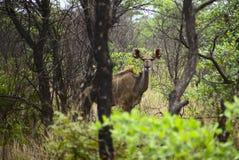 Ein weibliches kudu im Unterholz stockbild