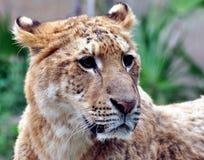 Ein weibliches Löwegesicht Stockbild