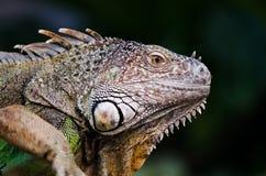 Ein weibliches Leguan, das vorbei geht lizenzfreie stockfotografie