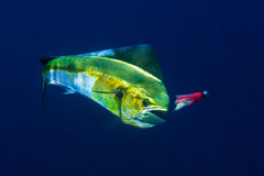Ein weibliches Mahi Mahi oder Delphin legt einen Kampf dar Stockfotos