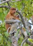 Ein weibliches Nasenaffe Nasalis larvatus, das ein Junges auf dem Baum in einem natürlichen Lebensraum einzieht Lizenzfreie Stockbilder