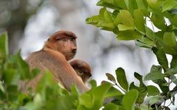 Ein weibliches Nasenaffe Nasalis larvatus mit einem Jungen in einem gebürtigen Lebensraum Langnasiger Affe, bekannt als das bekan Stockbild