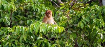Ein weibliches Nasenaffe Nasalislarvatus und -junges auf dem Baum in einem natürlichen Lebensraum Lizenzfreie Stockbilder