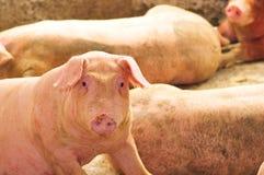 Ein weibliches Schwein Stockfotos