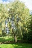 Ein Weidenbaum in einem Park Stockfotografie
