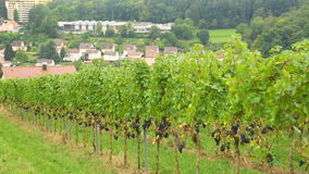 Ein Weinberg im Dorf Eisingen stock video footage