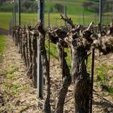 Ein Weinberg in Montefalco Italien, in dem Sagrantino produziert wird lizenzfreie stockfotografie