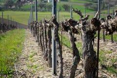 Ein Weinberg in Montefalco Italien, in dem Sagrantino produziert wird lizenzfreies stockbild