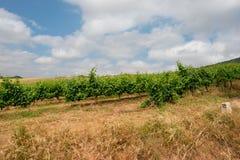 Ein Weinbergfeld unter dem blauen Himmel lizenzfreie stockbilder
