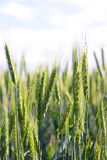 Ein Weizen Stockbilder