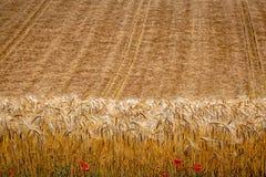 Ein Weizen-Feld bereit geerntet zu werden stockfotografie
