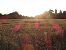 Ein Weizenfeld, das während des Sonnenuntergangs ruhig schaut stockbilder