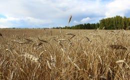 Ein Weizenfeld in Sibirien Lizenzfreie Stockfotos
