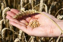 Ein Weizenfeld und eine weibliche Hand, die Weizen halten Lizenzfreie Stockfotografie