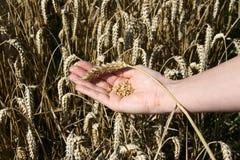 Ein Weizenfeld und eine weibliche Hand, die Weizen halten Lizenzfreie Stockfotos