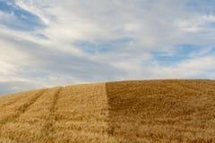 Ein Weizenfeld von zwei verschiedenen Farben Stockbild
