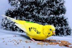 Ein wellenförmiger Papagei isst einen Mais. Lizenzfreie Stockfotografie