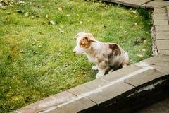 Ein Welpe der Waliser-Corgiwolljacke, die auf einem Rasen sitzt stockfotos