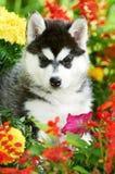 Ein Welpe des sibirischen Schlittenhunds in den Blumen Stockbilder