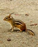 Ein weniges Streifenhörnchen Stockbild