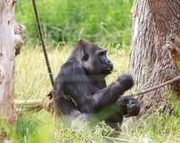 Ein Westtieflandgorilla, der nahe bei einem Seil grast auf einer Niederlassung sitzt Stockfotos